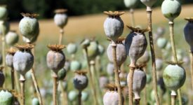Opium production rise