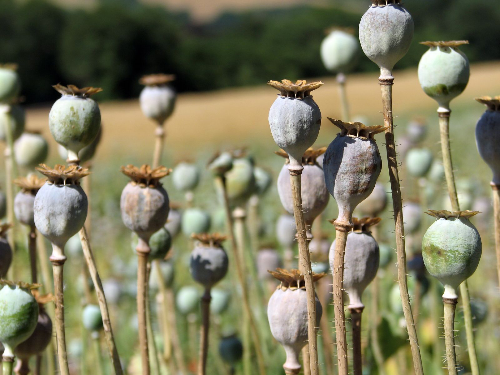Opium production rise