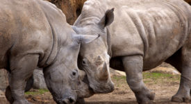 over 1,000 rhinos killed in South Africa