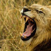 lions eat poacher