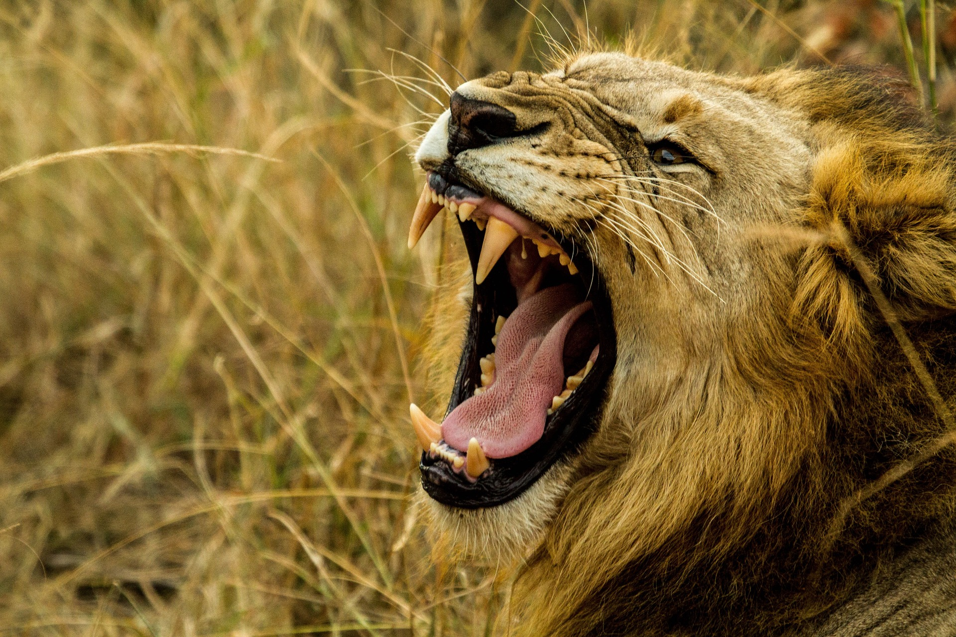 lions eat poacher