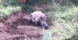 rhino calf filmed attempting to suckle