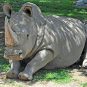 last male northern white rhino