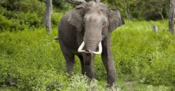Poachers increasingly targeting Asian elephants