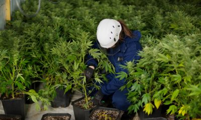 multi-million dollar network of cannabis factories