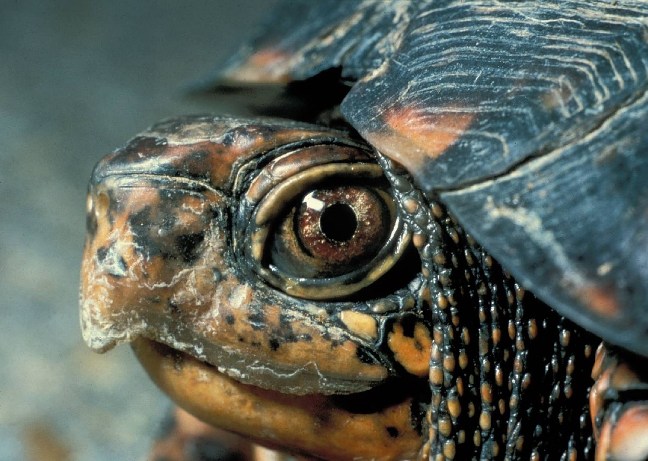 smuggle turtles to Asia