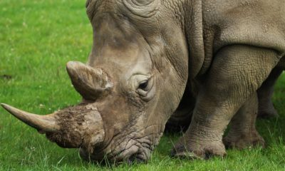 China legalises sale of tiger bone and rhino horn