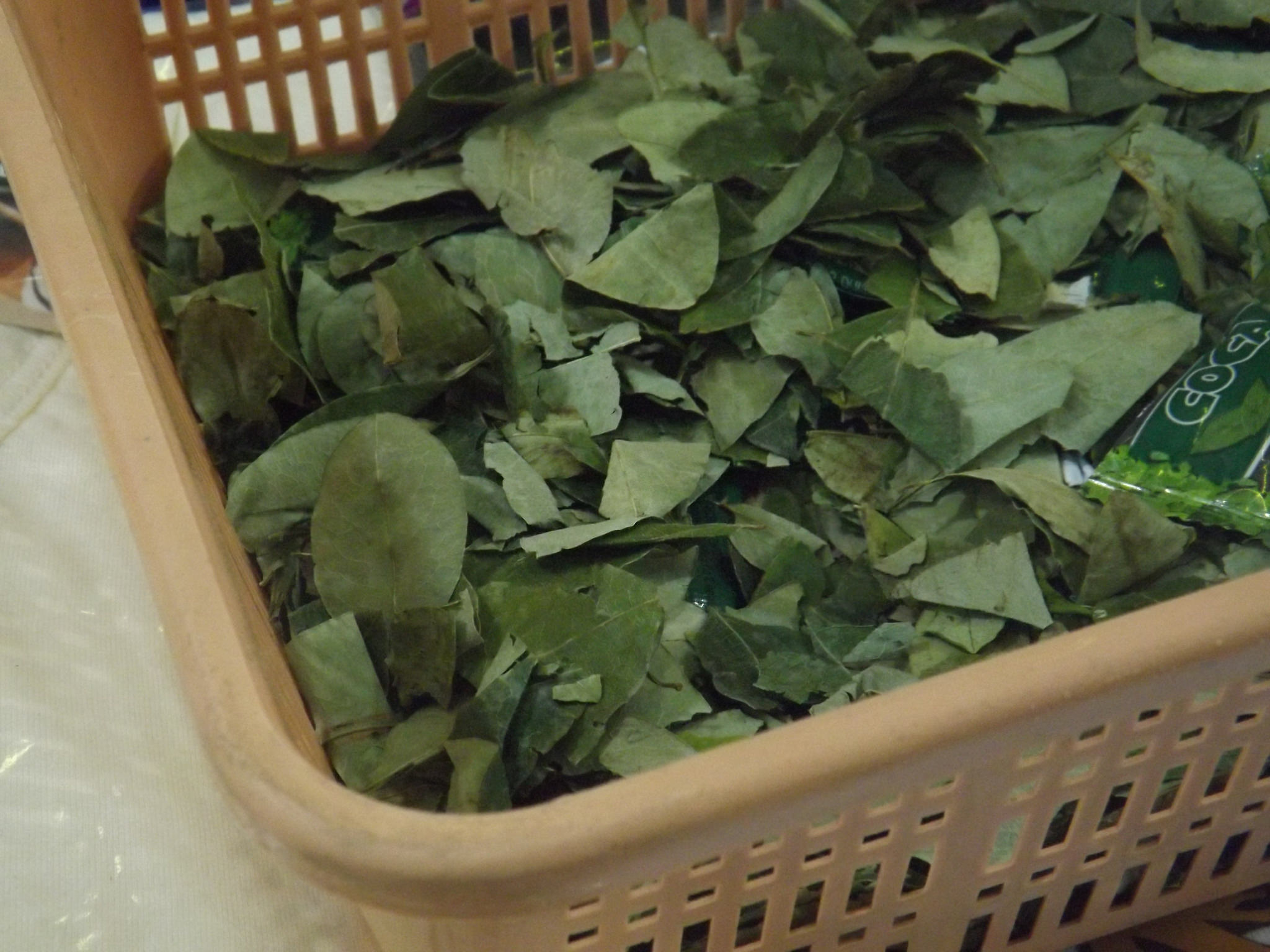 coca cultivation