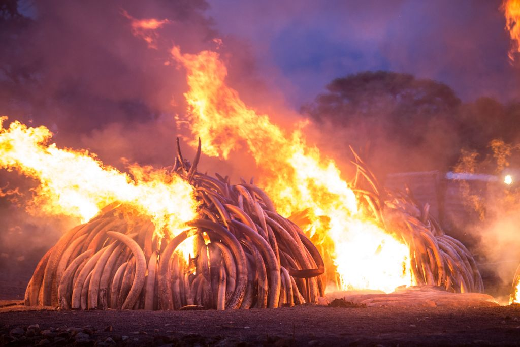 government burns illegal wildlife products worth $1.3 million