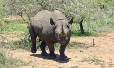 black rhinos transported to Chad