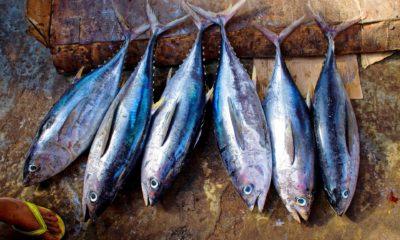 illicit trade of Bluefin tuna