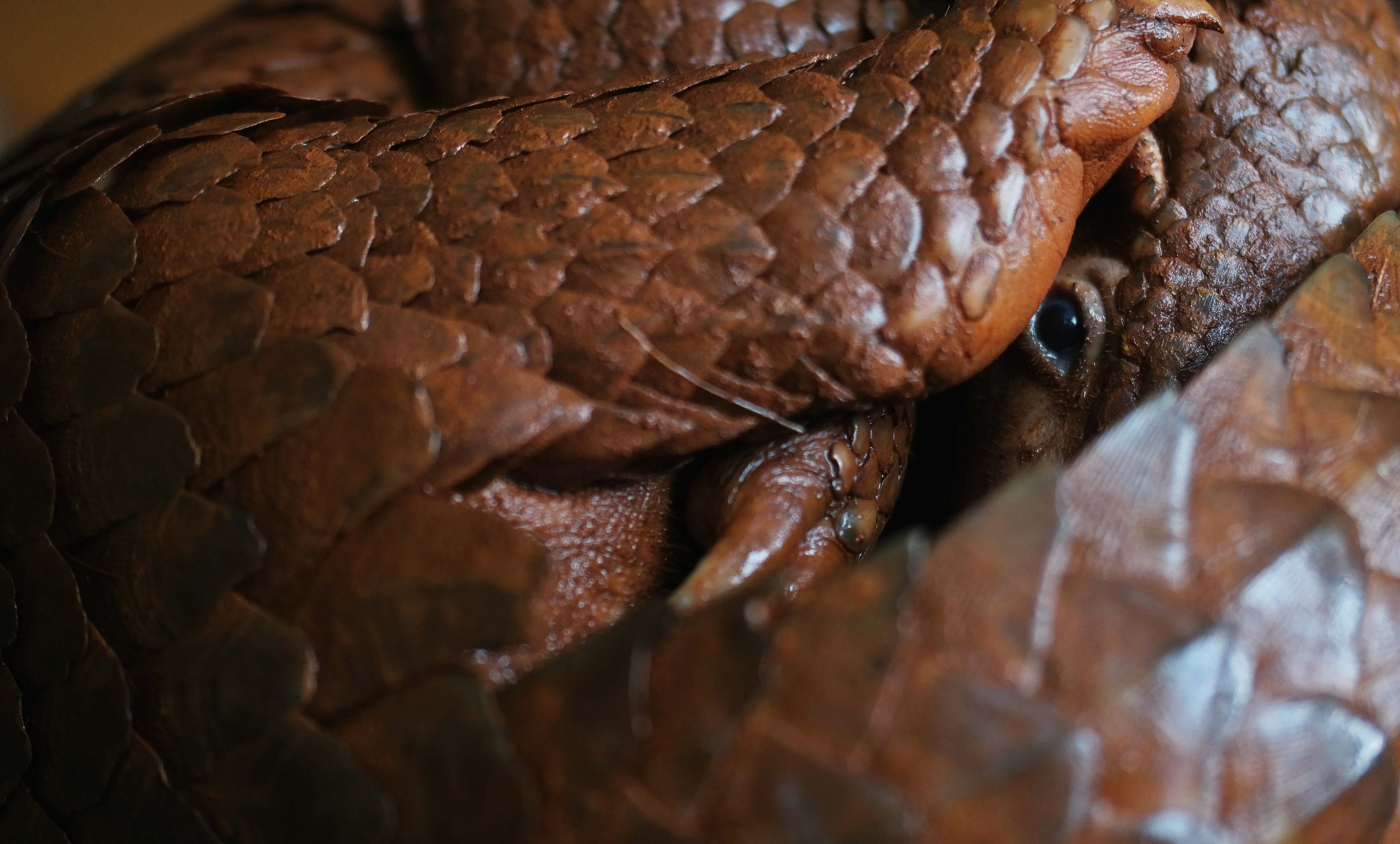 record haul of nearly 30 tonnes of pangolins