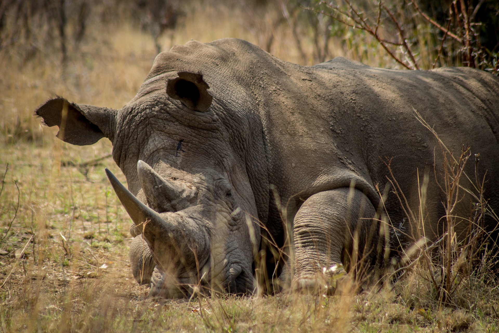 rhinos killed by poachers in South Africa falls below 1,000 f