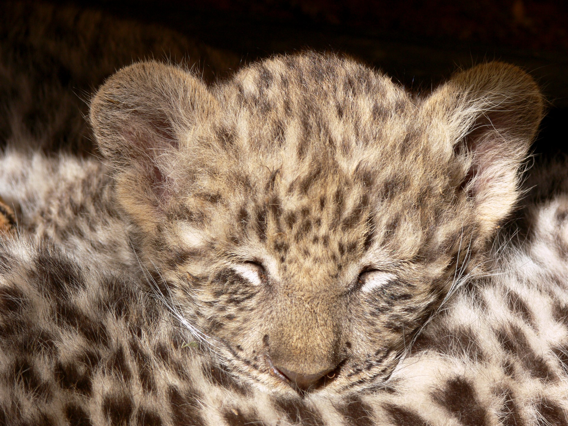 smuggle month-old leopard cub