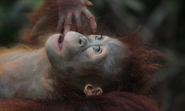 smuggle drugged orangutan