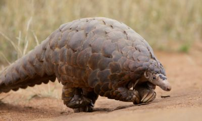 record seizure of trafficked pangolin scales