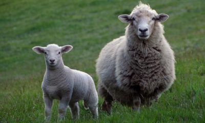 criminal gangs slaughtering UK farmers' sheep