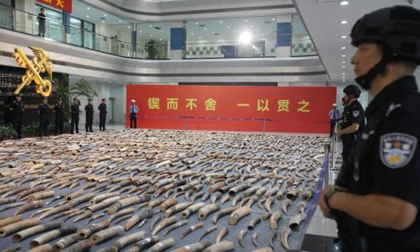 customs authorities in China seize record 7.5 tonnes of ivory