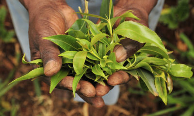 turning a blind eye to khat use