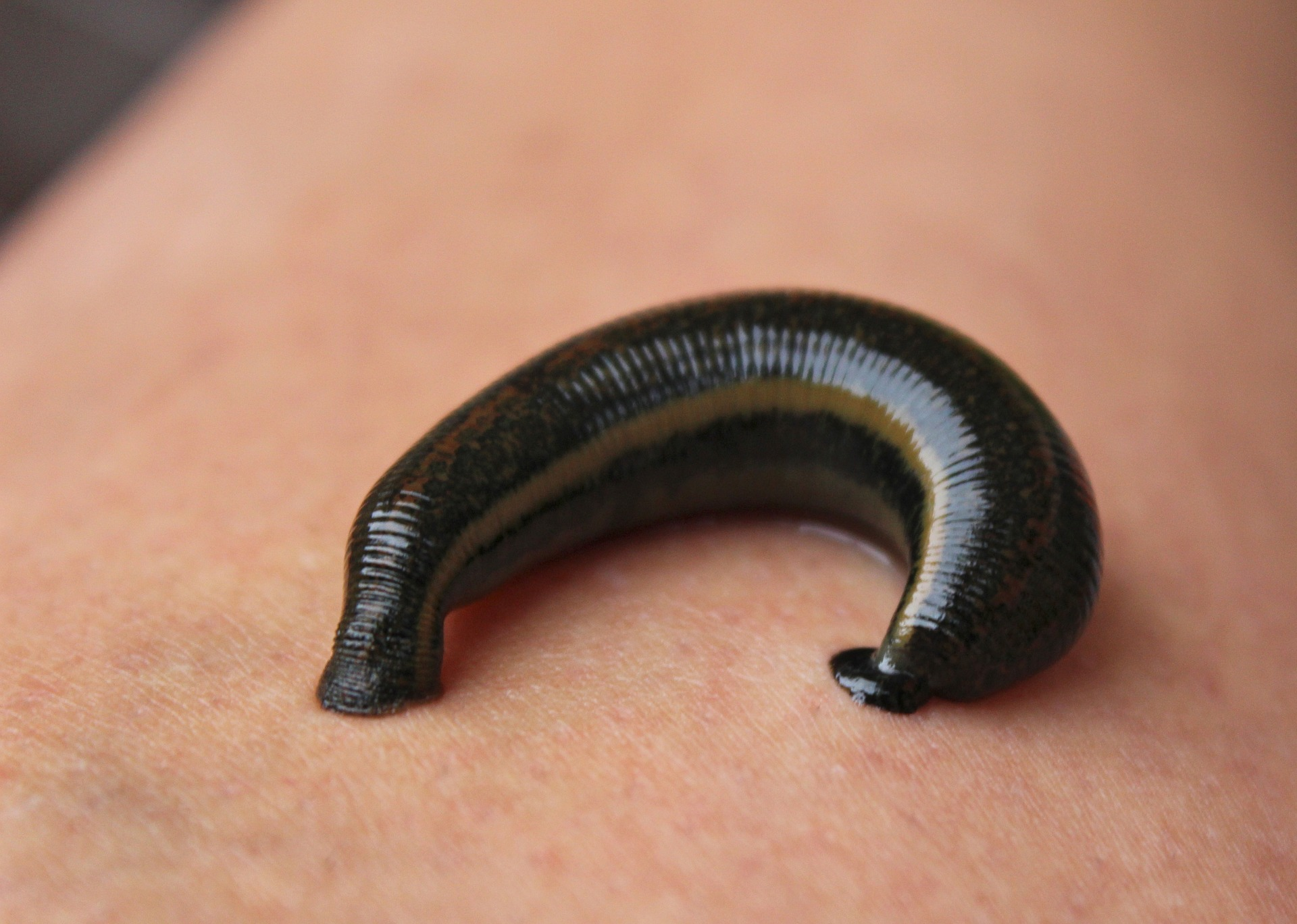 5,000 blood-sucking leeches into Canada