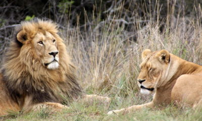 Poachers hack off lions' jaws and paws