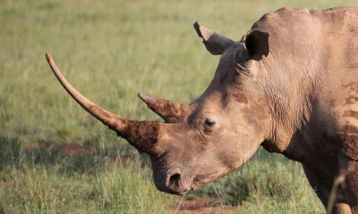 scientists create fake rhino horn