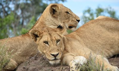 poachers kill 16 lions with poison chicken