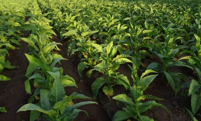 illicit tobacco crop with estimated excise value of A$34.5 million