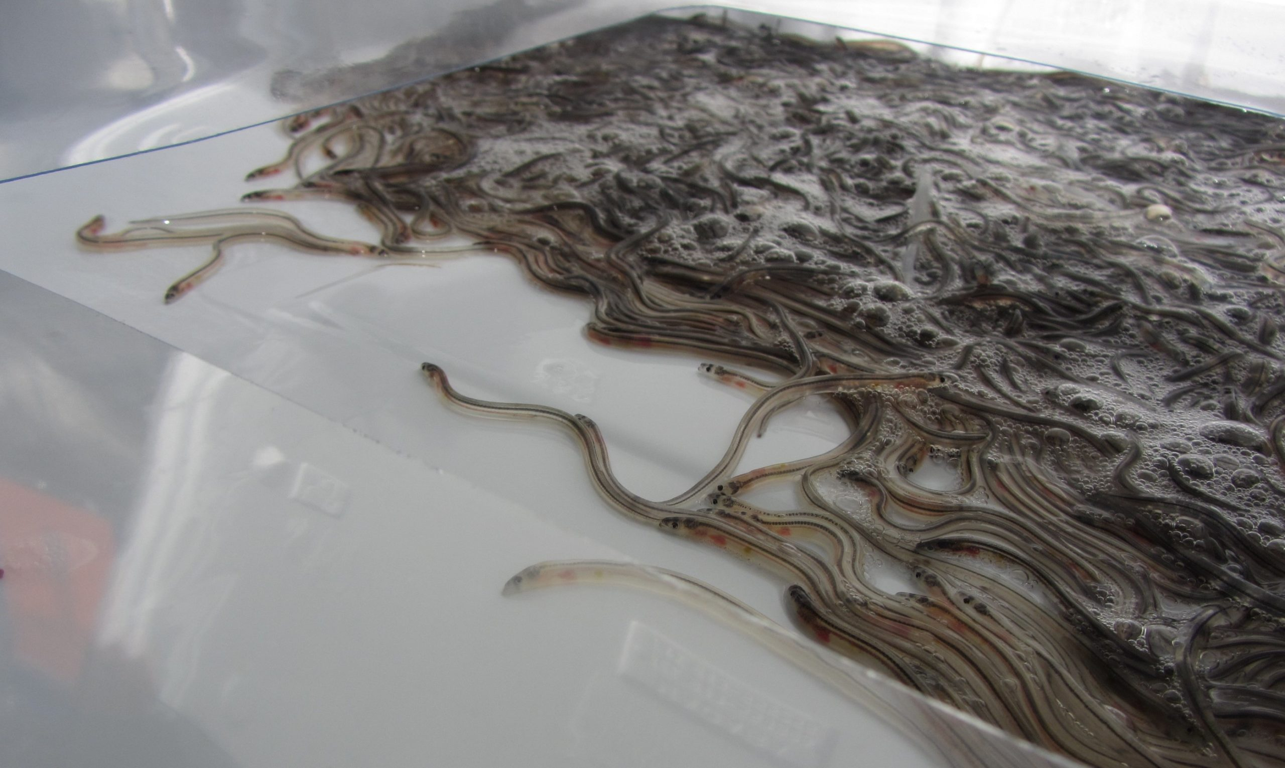 glass eels worth £53 million